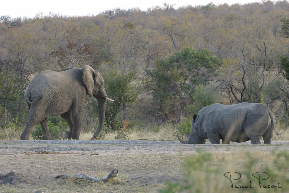 Rhino vs Elephant at a Kruger Park water hole